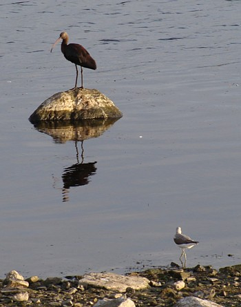 Glossy ibis and greenshank