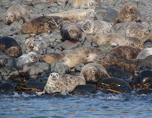 Seal colony on the Farnes