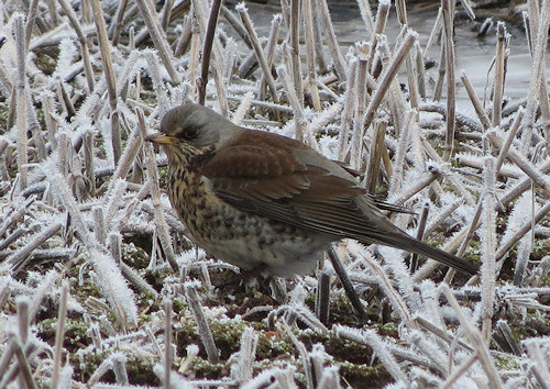 Fieldfare trying to forage on the frozen ground at Hilltop Farm