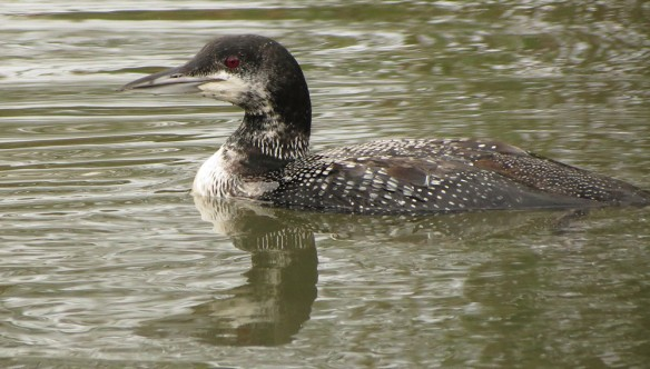 Great Northern Diver at Pittville Park in Cheltenham.