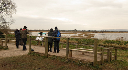 Looking for the pied-billed grebe at Ham Wall