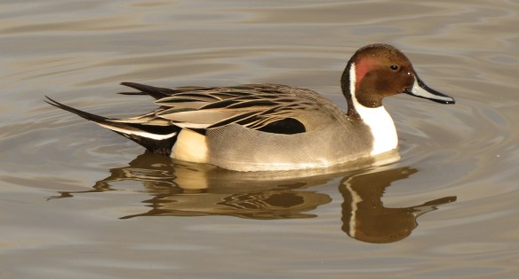 Pintail at Slimbridge