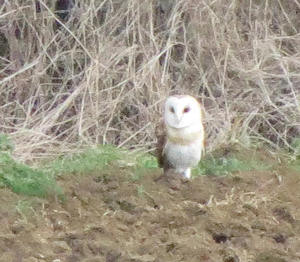 Barn owl in a field on the route from Shipston