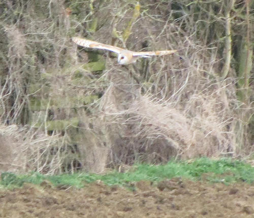 Barn owl flying along the edge of a field on the route from Shipston