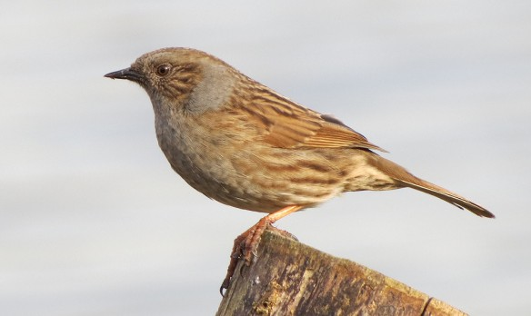 This dunnock was showy and vocal - but never settled anywhere for long.