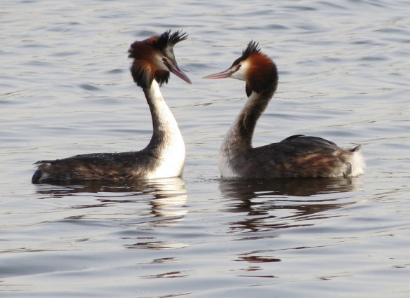 These great crested grebes tantalised for a while but didn't get onto the weed dance.
