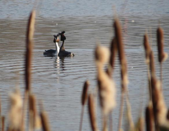 An intimate moment: great crested grebes at Upton Warren