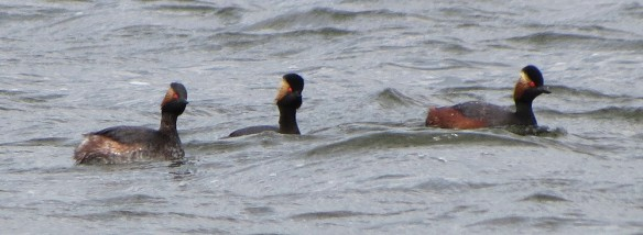 The triad of black-necked grebes
