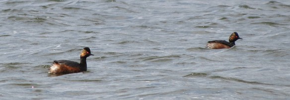 Two of the black-necked grebes at Dosthill Water Park