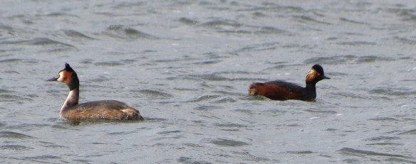 Black-necked grebe, with the more familiar great-crested grebe for comparison.