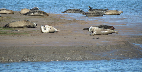 The seals at Greatham Creek