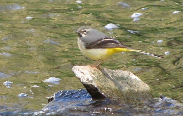 Grey wagtail on Leigh Brook at the Knapp & Papermill reserve