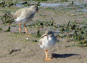 "Spot the male redshank unsure what to do when a female flies in... ""if in doubt, keep yapping"""