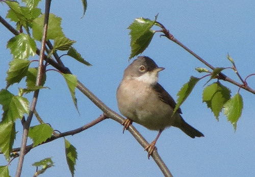 Lesser whitethroat at Castlemorton Common