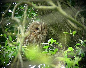 Tawny Owl at Grimley, photographed by Brian Stretch.
