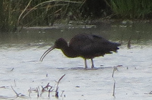 Glossy ibis at Marloes Mere