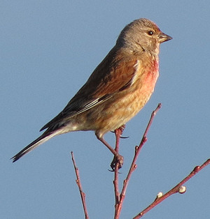 Linnet, posing for the camera