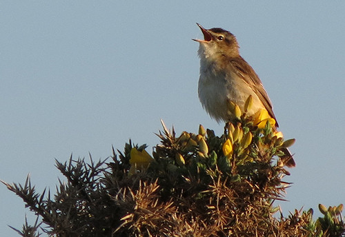 Sedge warbler giving it all his worth
