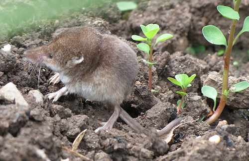Shrew in the veg patch