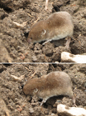 The shrew burrowing into the soil for insects