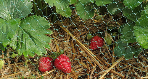 Fresh strawberries this morning