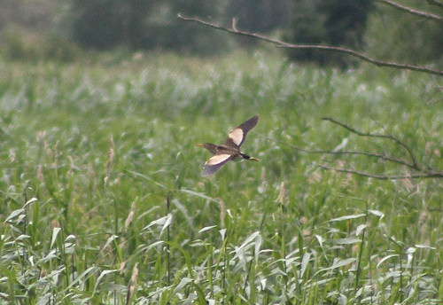 Little Bittern at Ham Wall in 2010, illustrating what you can expect to see on a feeding flight - copyright Tom Mabbett