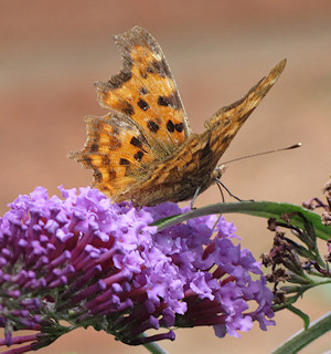 Comma at Wichenford Oak