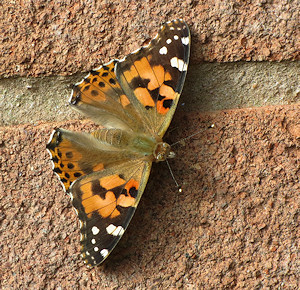Painted lady at Wichenford Oak