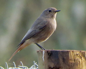 Black redstart on St Mary's at Borough Farm