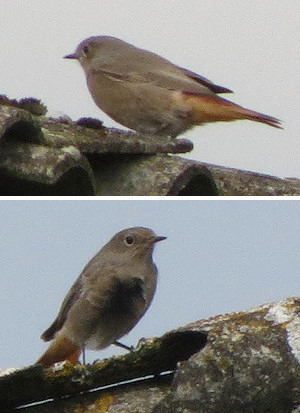Black redstart on Leckhampton Hill