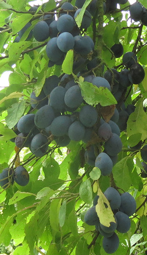Damsons at Wichenford Oak