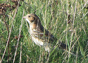 Lapland bunting on St Mary's at Peninis Head