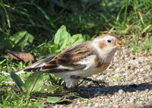 Snow bunting on the way to the lighthouse at Peninis Head on St Mary's.
