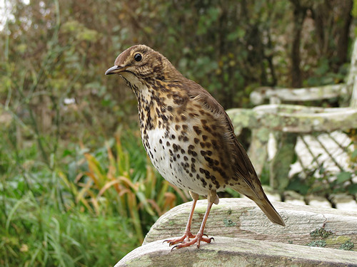 The song thrush outside the Old Town churchyard, overlooking the bay.