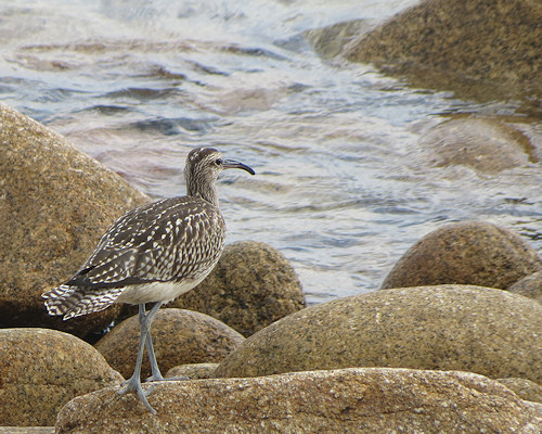 Whimbrel at Old Town bay