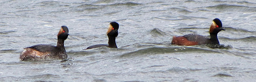 Black-necked grebes near Tamworth