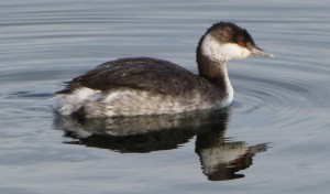 Slavonian grebe at Farmoor Reservoir (click to enlarge)