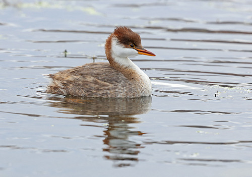 Titicaca flightless grebe, Peru. Photo: Jim Lawrence, BirdLife.