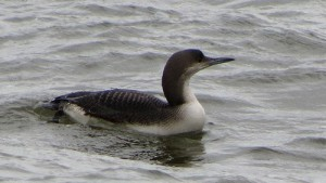 Black-throated diver at Chew Valley Lake: if you look carefully you can see the diver's feet, much further back than it ducks. This is ideal for a diving bird, but means they find it hard to walk on land.