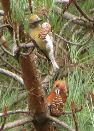 Common crossbills in the Wyre Forest - female (green) and male (red)