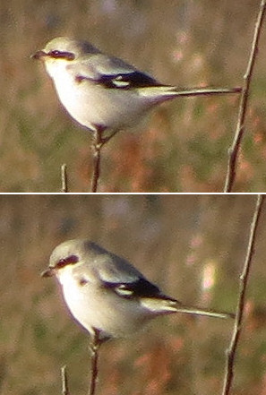Great grey shrike at Hopwood