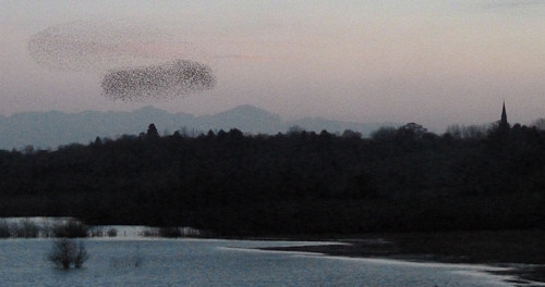 Starlings over Grimley Camp Lane Pools