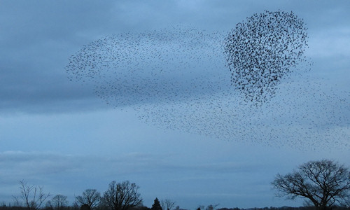 Starling murmuration at Camp Lane Pools, Grimley