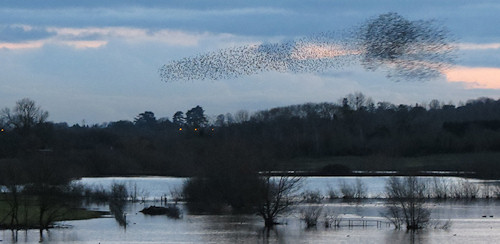 Starling murmuration at Camp Lane Pools, Grimley (from the north end on Friday)