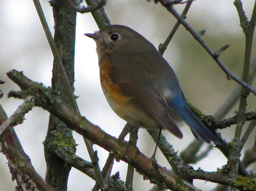 Red flanked bluetail near Marshfield, Friday