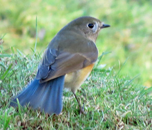 Red-flanked bluetail - fanning its tail. It tended to wag its tail in a way reminiscent of a redstart.