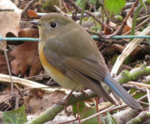 Red-flanked bluetail near Marshfield
