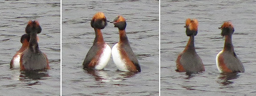 The Slav grebes during one of their courtship displays