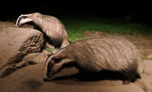 Two of the badgers showed very well