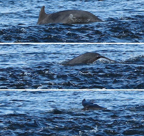 Dolphin pursuing salmon at Chanonry Point